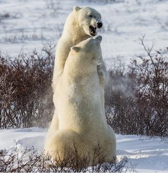 Два белых медведя играют друг с другом в тундре. канада.