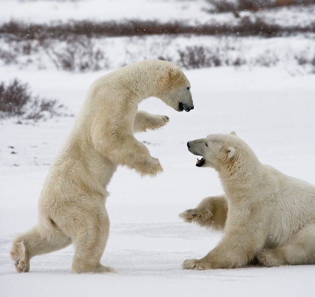 Two polar bears are playing with each other in the tundra. canada.