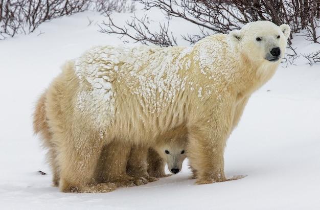 雪の中で互いに遊ぶ2つのホッキョクグマ
