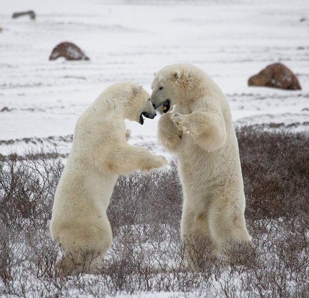 Два белых медведя играют друг с другом в снегу