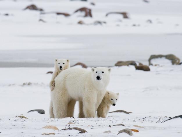 눈 속에서 서로 노는 두 북극곰