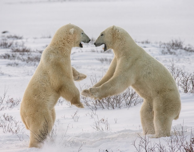 Два белых медведя играют друг с другом в тундре.