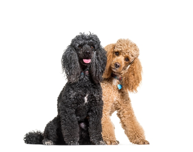 Two poodles dogs sitting, cut out