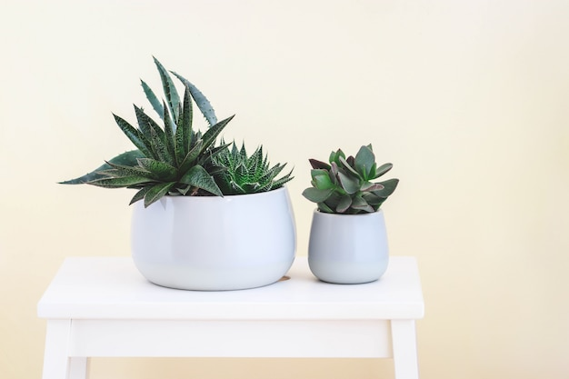 Two pots with succulent on white wooden stool. pure fresh mood. stylish and simple plants for modern flat