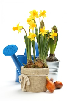Two pots with young spring flowers and blue watering can over white with copy space