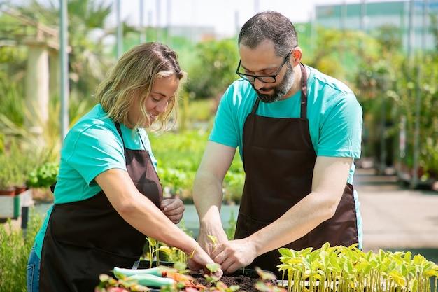 Due giardinieri professionisti che piantano germogli in contenitore con terreno in serra. colpo medio. lavoro di giardinaggio, coltivazione o concetto di lavoro di squadra