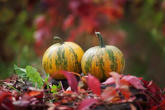 秋の時間に2つのカボチャ