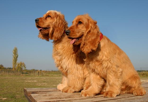 Два щенка английских кокеров
