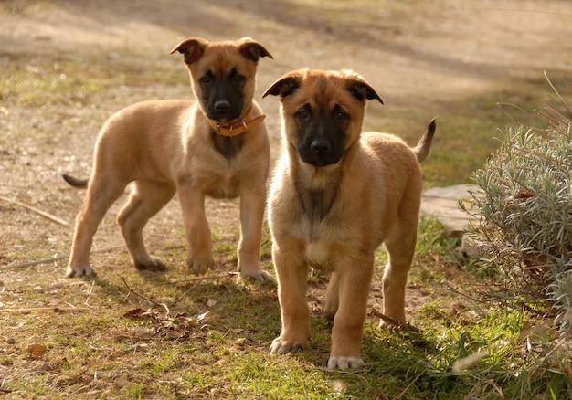 Два щенка малинуа