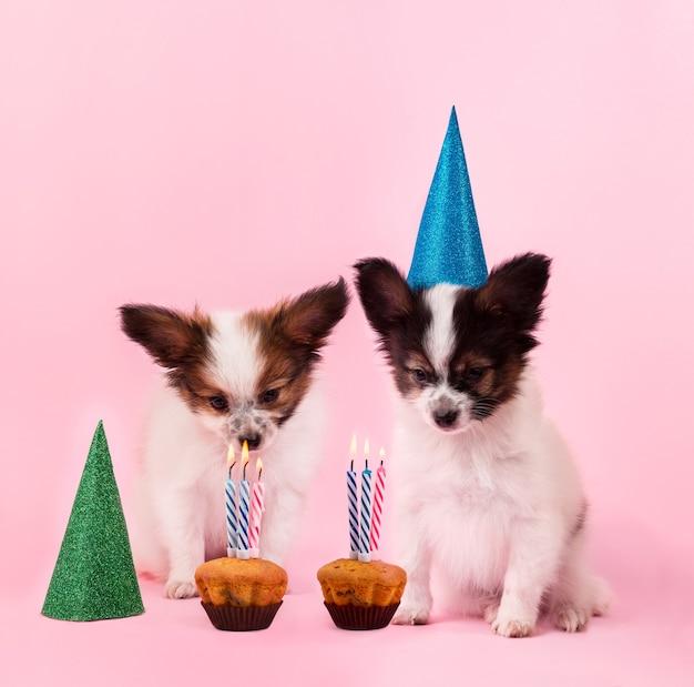 Два щенка породы папийон празднуют день рождения