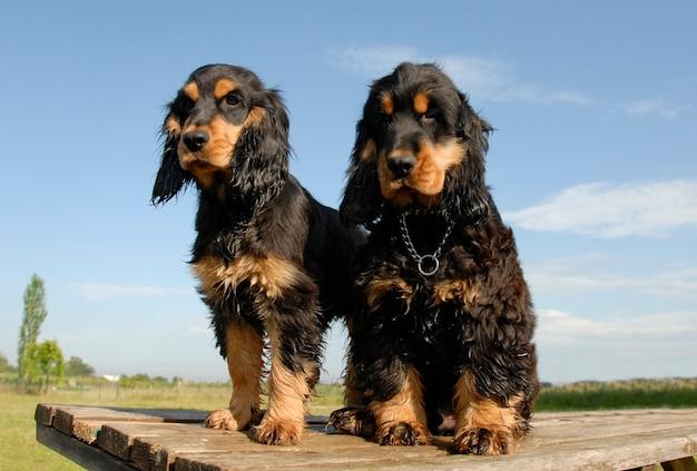 Два щенка чистокровных английских кокеров