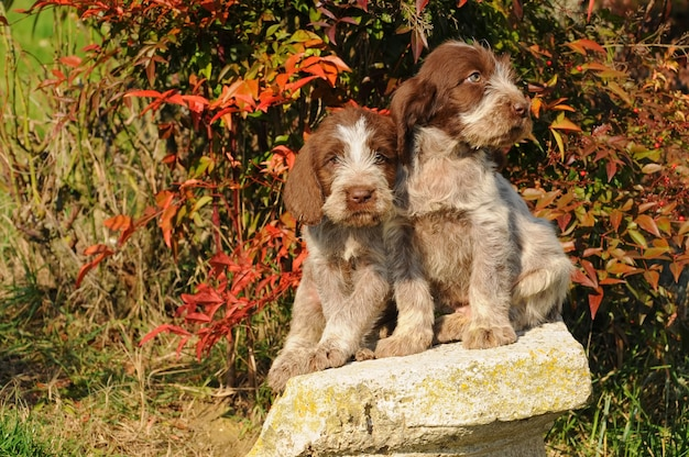 Two puppies of spinone italiano dog
