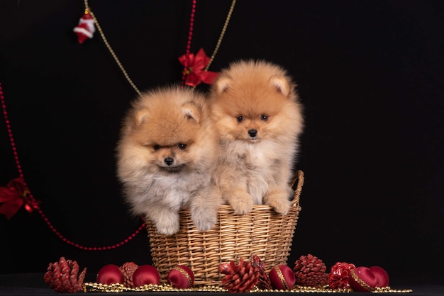 Two puppies spitz sitting in a basket