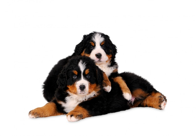Two puppy bouvier bernese mountain dogs on white background