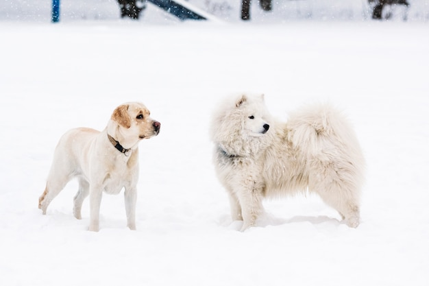 Two purebred samoyed dogs and a labrador retriever