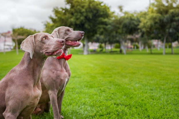 Two purebred weimaraner dogs, very elegant, sitting on the grass of nature.