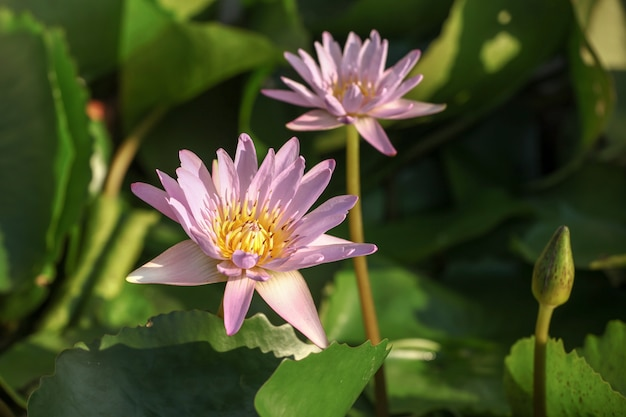 Two purple color lotus in nature for wallpaper