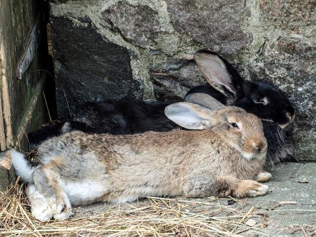 2匹のウサギが納屋で眠っています