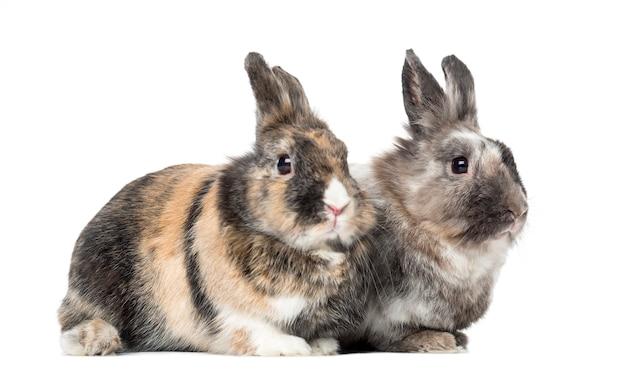 白に孤立して横たわっている2匹のウサギ