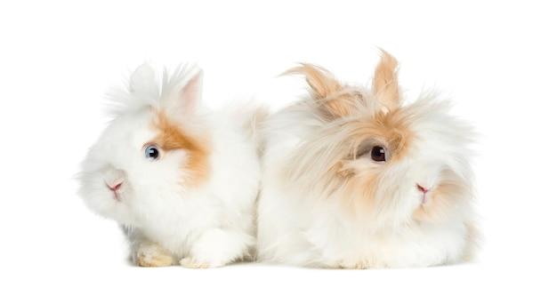白で隔離された並んで横たわっている2匹のウサギ