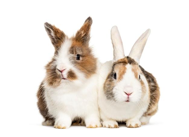 白で隔離されて一緒に座っている2匹のウサギ