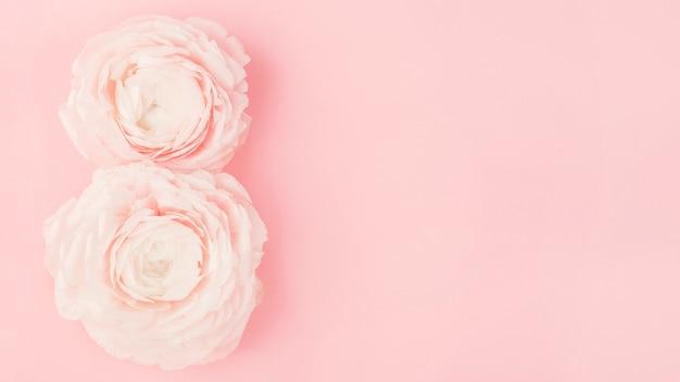 Два цветка лютика с цифрой восемь на розовом фоне