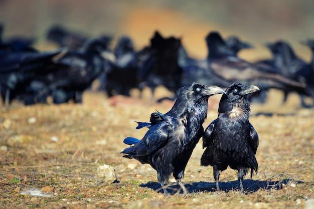 2羽のカラスcorvus coraxが群れから離れて立つ