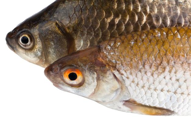 흰색 배경에 고립 된 두 개의 생선을 닫습니다.