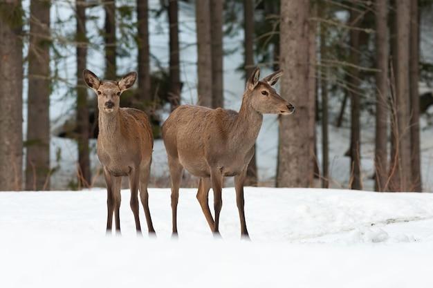冬の自然の中で雪に覆われた牧草地に立っている2つのアカシカの後ろ