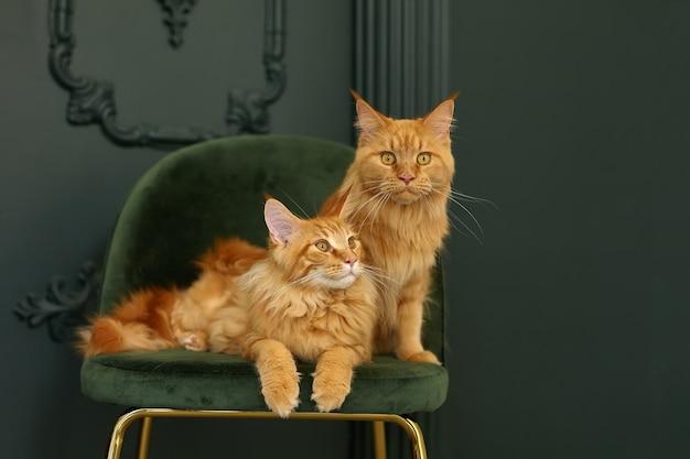 2匹の赤いふわふわメインクーン猫が緑のビロードの椅子に座っています