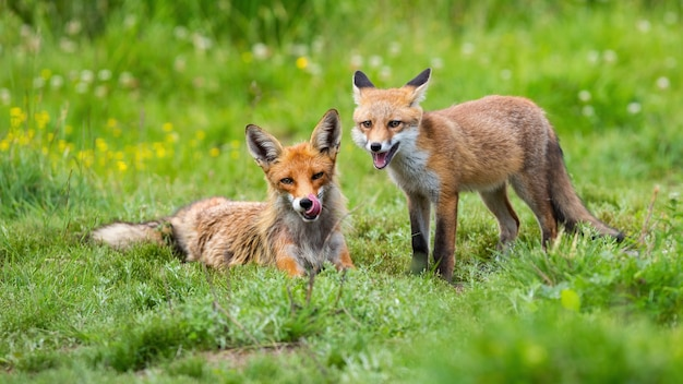 Two red fox lying on green meadow in summertime nature