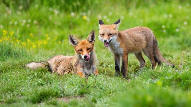 여름 자연에서 녹색 풀밭에 누워 두 붉은 여우
