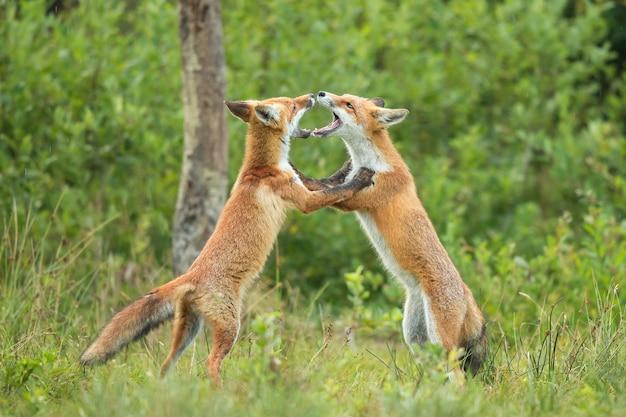 Два щенка рыжей лисы дерутся друг с другом в летнем лесу