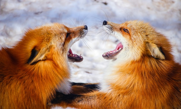 Two red foxes fighting each other in winter snow