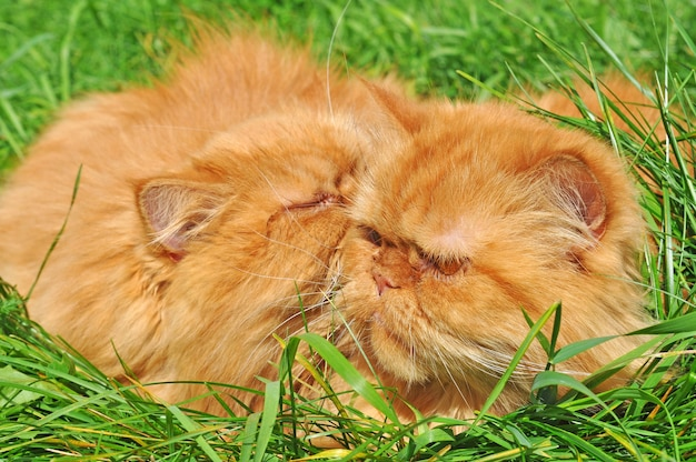 Two red funny persian cats are lying in the green grass