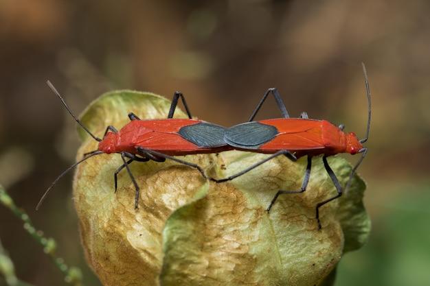 花の上に2つの赤い昆虫