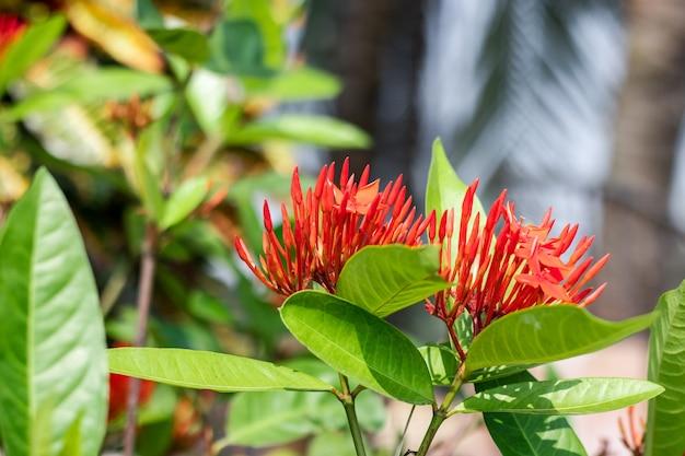 정원에 잎이 있는 두 개의 빨간 익소라 꽃