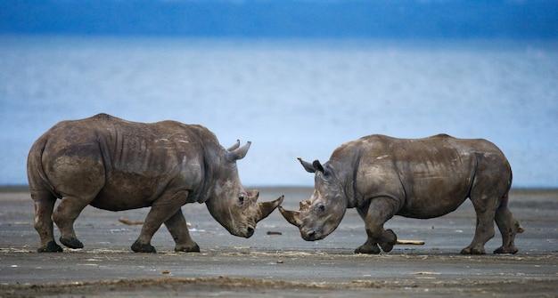 Два носорога дерутся друг с другом.