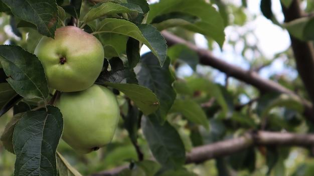 Два спелых зеленых маленьких яблока на ветке вместе на дереве с зелеными листьями летом в саду. крупный план.