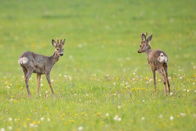 Две косули, стоящие на лугу и глядя друг на друга весной