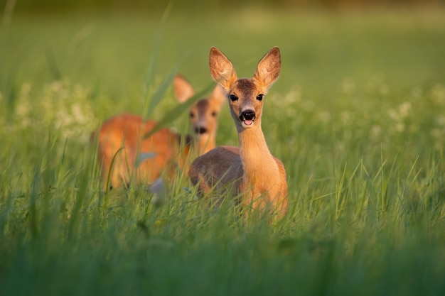 Two roe deer fawns standing on medaow in summertime nature