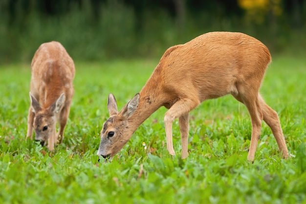 Two roe deer grazing on meadow in summertime nature