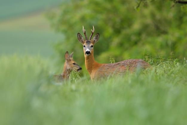 Две косули, стоящие в траве в летней природе