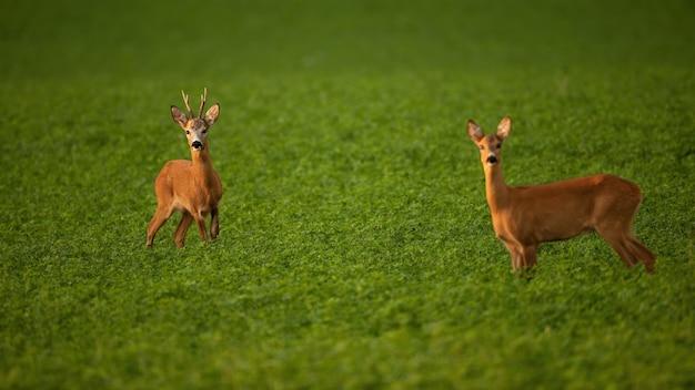Две косули, стоящие на поле в летний сезон гона