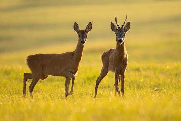 Две косули, стоящие на поляне летом с подсветкой