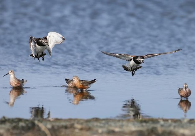飛行中の羽毛の繁殖における2つのキョウジョシギ(arenariainterpres)