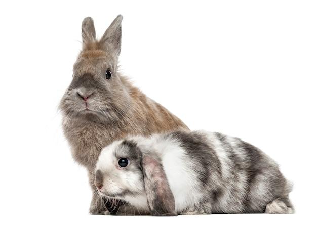 白で隔離された2匹の悲しいウサギ