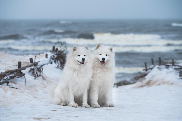 두 마리의 사모예드 흰 개는 라트비아의 눈 바다 해변에 있습니다