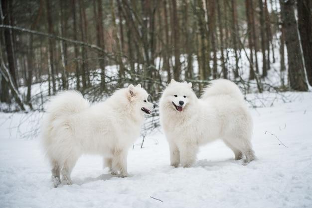 사모예드 흰 개 두 마리가 겨울 숲에 있다