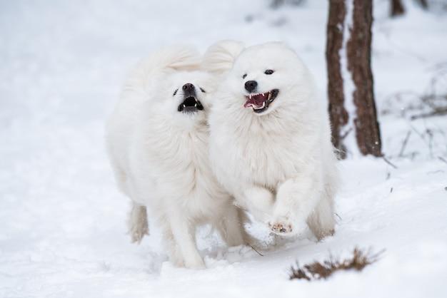 사모예드 흰 개 두 마리가 겨울 숲에서 놀고 있다